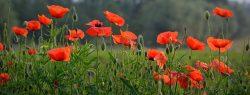 Bruge Poppies