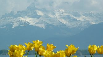 tulips lake geneva