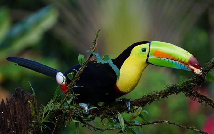 costa_rica_toucan