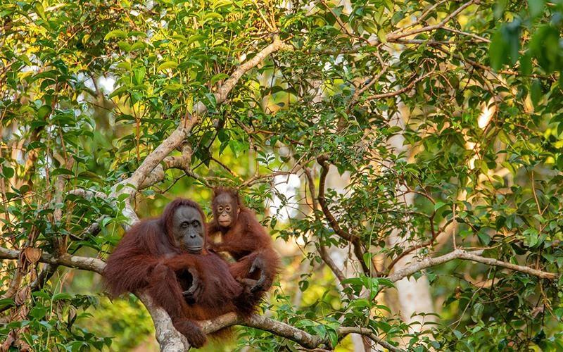 borneo_orangutan_website